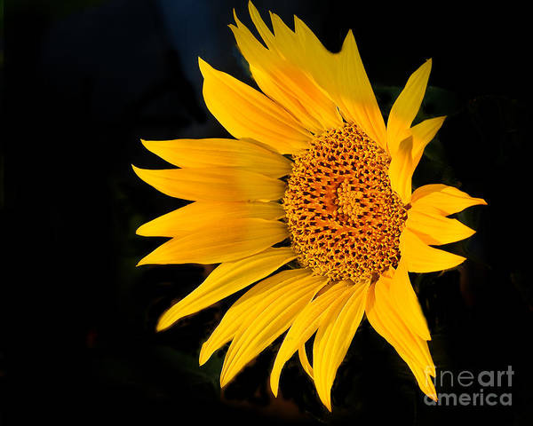 Sunflower Seeds Photograph - Floating Sunflower by Robert Bales