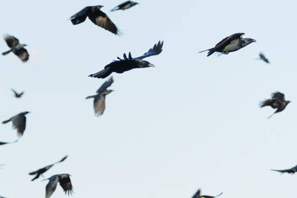 Photograph - Flock Of Crows by Bradford Martin