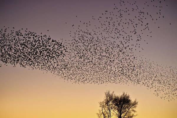 Photograph - Flock Of European Starlings by  Onyonet  Photo Studios
