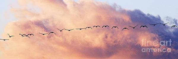 Photograph - Flock Of Geese At Sunset by Larry Ricker