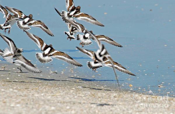 Photograph - Flock Of Ruddy Turnstones by Richard Nickson