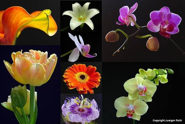 Photograph - Floral Beauties Over Black by Juergen Roth