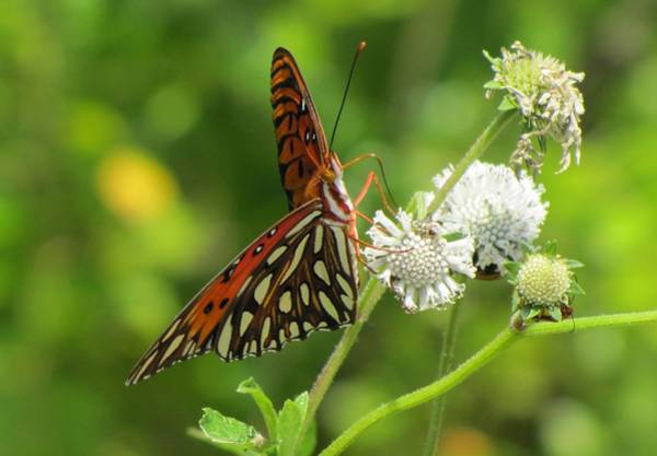 Photograph - Florida Butterfly by Keith Stokes