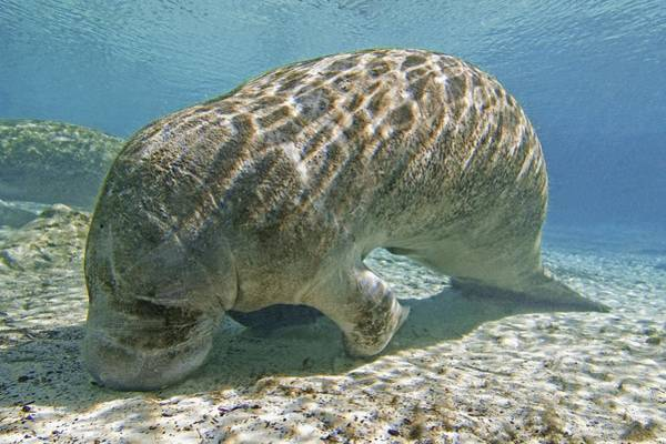 West Indian Manatee Photograph - Florida Manatee Feeding by Clay Coleman
