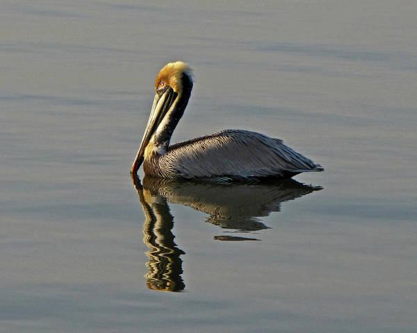 Florida Pelican Art Print
