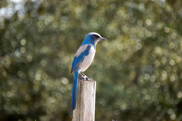 Scrub Jay Photograph - Florida Scrub Jay by Rich Leighton