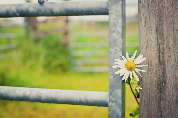 Fence Photograph - Flower Between Fence And Wood by Enjoy it!