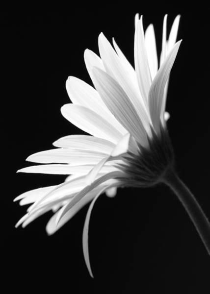 Wall Art - Photograph - Flower Bw by Falko Follert