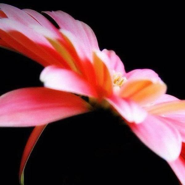 Edit Photograph - #flower #flowers #daisy #pretty #beauty by Jamiee Spenncer