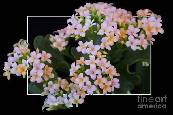 Flower In Frame -12 Art Print
