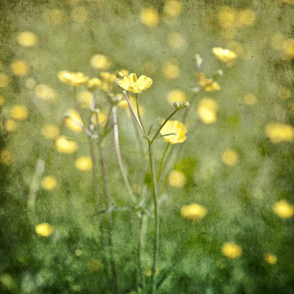 Romantic Flower Photograph - Flower Of A Buttercup In A Sea Of Yellow Flowers by Joana Kruse