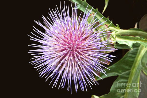 Photograph - Flowering Artichoke Top View by Byron Varvarigos