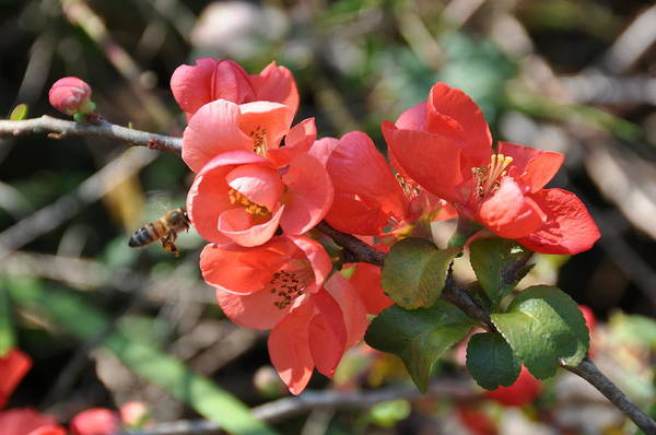 Quince Photograph - Flowering Quince by Jan Amiss Photography
