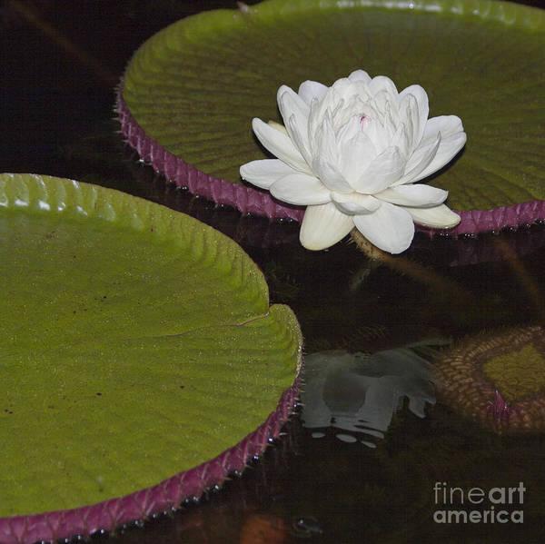 Victoria Amazonica Wall Art - Photograph - Victoria Amazonica White Flower by Heiko Koehrer-Wagner