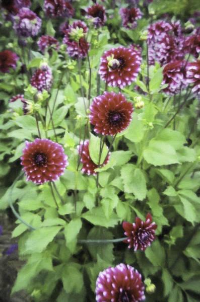 Digital Art - Flowers In Caen by Donna L Munro