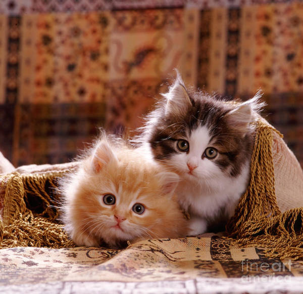 Photograph - Fluffy Ginger And Tabby-and-white Kitten by Jane Burton