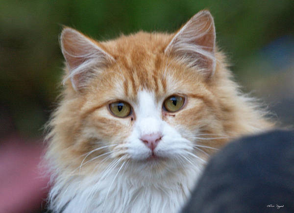 Photograph - Fluffy Orange by Chriss Pagani