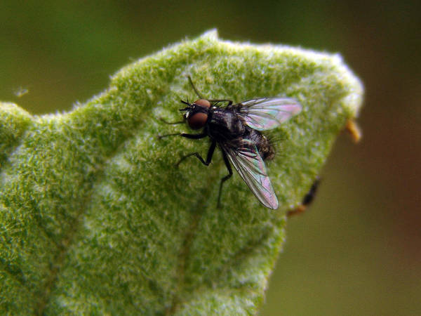 Photograph - Fly On Leaf by Alessandro Della Pietra