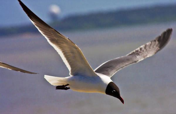Gull Photograph - Flyin' Free by Betsy Knapp