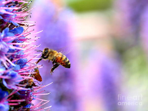 Photograph - Flying Bee On Purple Pride Of Madeira Flowers . 7d14852 by Wingsdomain Art and Photography