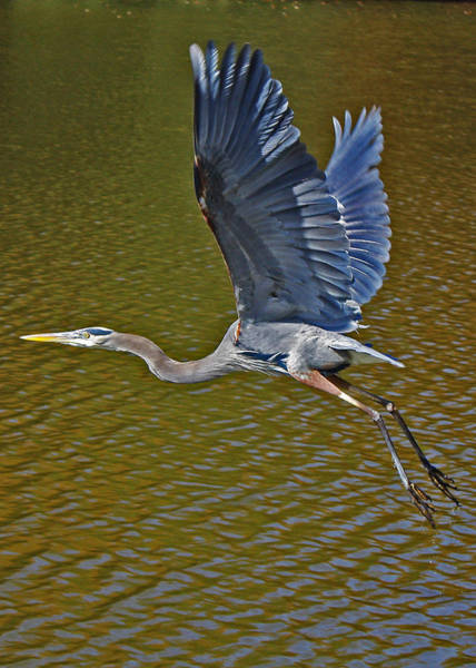 Photograph - Flying Blue Heron by Sheila Kay McIntyre