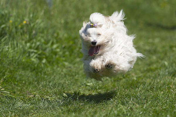 Wall Art - Photograph - Flying Dog (havanese) Above Grass by @Hans Surfer