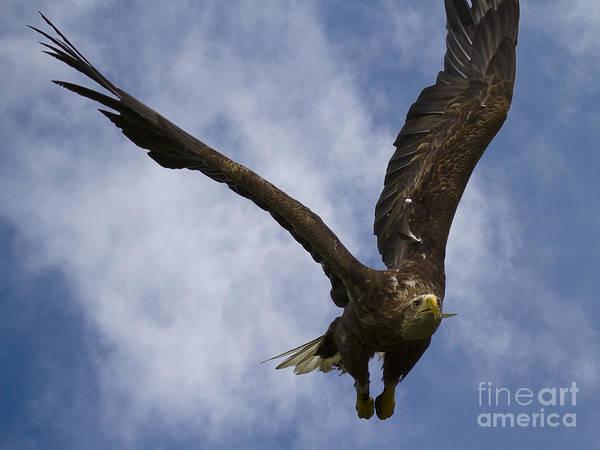 Faunal Photograph - Flying European Sea Eagle I by Heiko Koehrer-Wagner