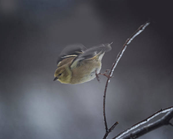 Goldfinch Photograph - Flying Leap by Susan Capuano