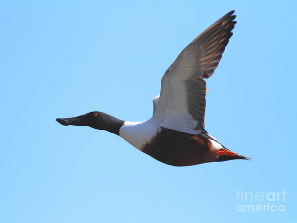 Photograph - Flying Northern Shoveler Duck . 7d8729 by Wingsdomain Art and Photography