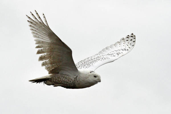 Photograph - Flying Snowy Owl by Pierre Leclerc Photography