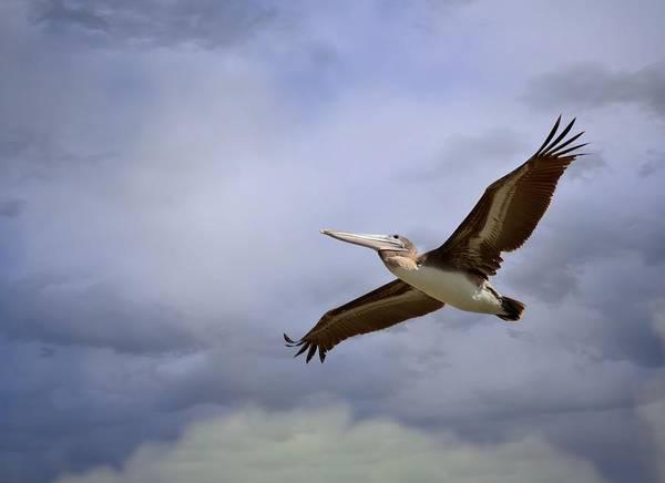 California Brown Pelican Photograph - Flying Through The Tempest by Fraida Gutovich