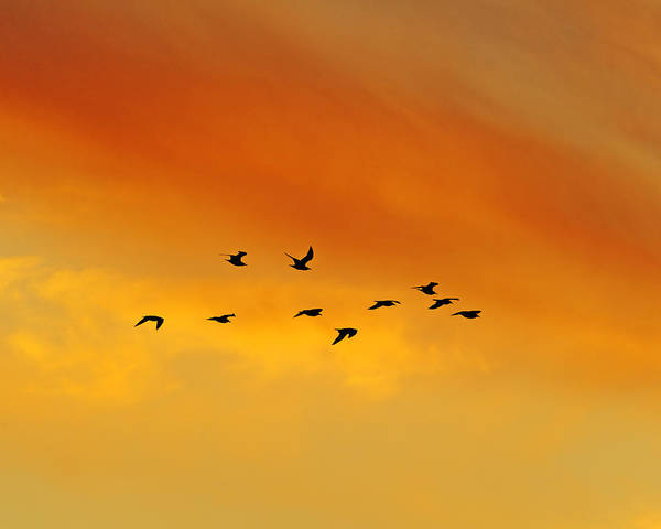 Photograph - Flying To The Roost by Tony Beck