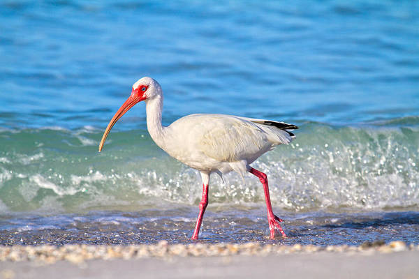 White Ibis Wall Art - Photograph - For The Birds by Betsy Knapp
