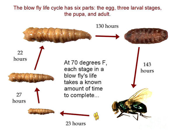 Photograph - Forensic Helper, Life Cycle Of Blow Fly by Science Source
