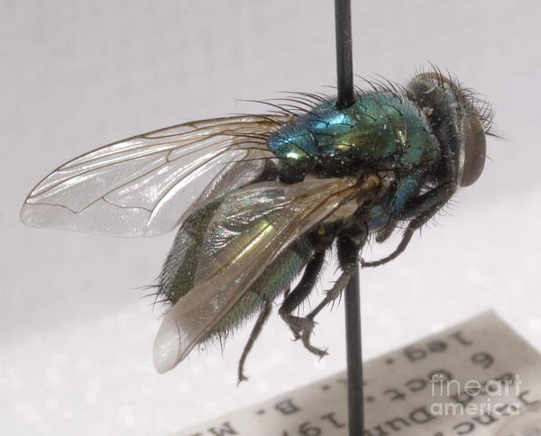 Photograph - Forensic Helpers, Green Blow Fly by Science Source