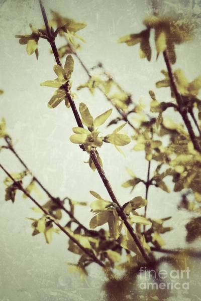 Photograph - Forsythia  by Traci Cottingham
