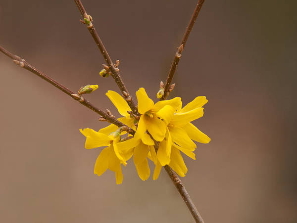 Photograph - Forsythias by Lara Ellis