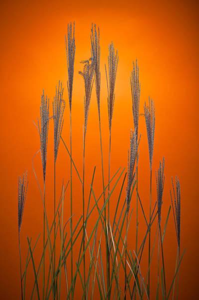 Wall Art - Photograph - Fountain Grass In Orange by Steve Gadomski