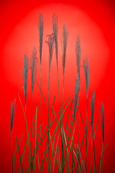 Wall Art - Photograph - Fountain Grass In Red by Steve Gadomski
