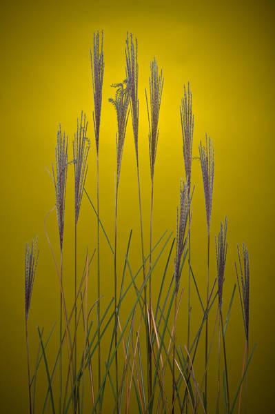 Wall Art - Photograph - Fountain Grass In Yellow by Steve Gadomski
