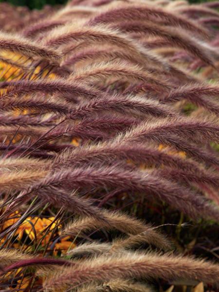 Pennisetum Photograph - Fountain Grass by Jouko Lehto