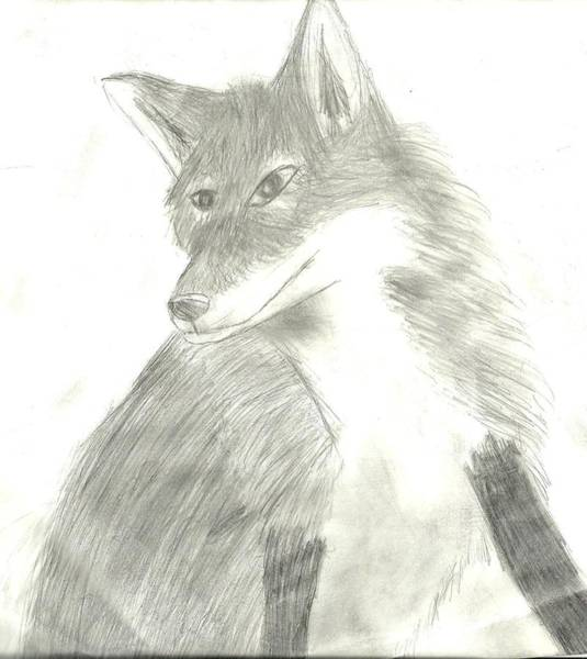 Furry Drawing - Fox by Anna  Henderson