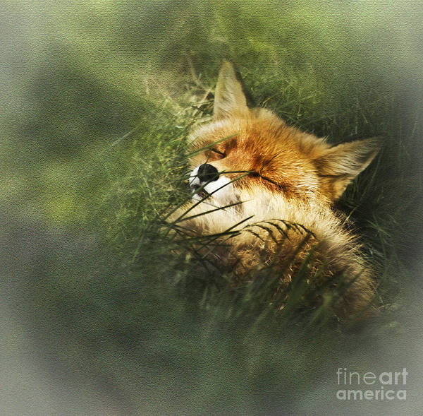 Photograph - Fox At Rest by Heiko Koehrer-Wagner