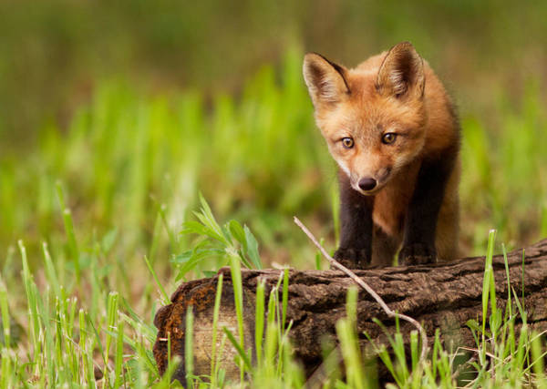 Wall Art - Photograph - Fox Pup by Mircea Costina Photography