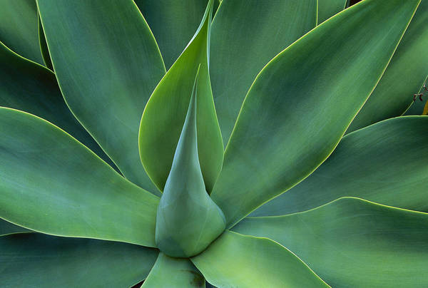 Photograph - Fox Tail Agave Agave Attenuata Leaves by Jean-Paul Ferrero
