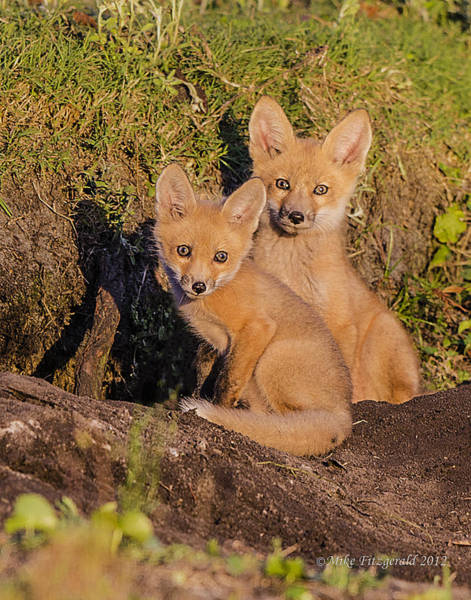 Photograph - Foxes On Guard by Mike Fitzgerald