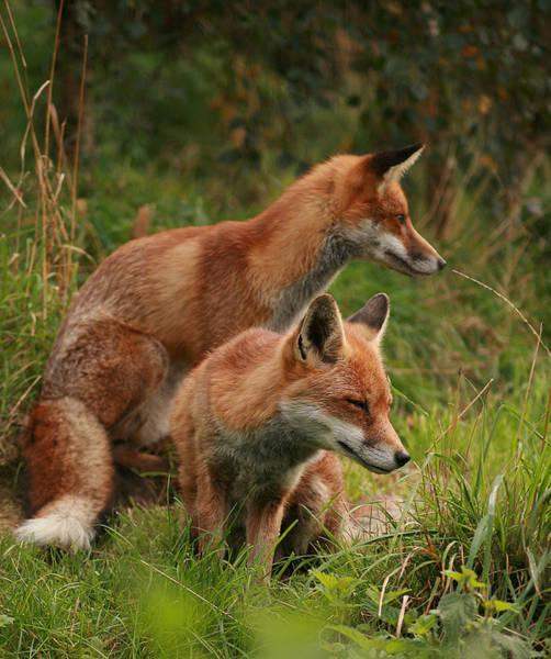 Foxy Pair Art Print