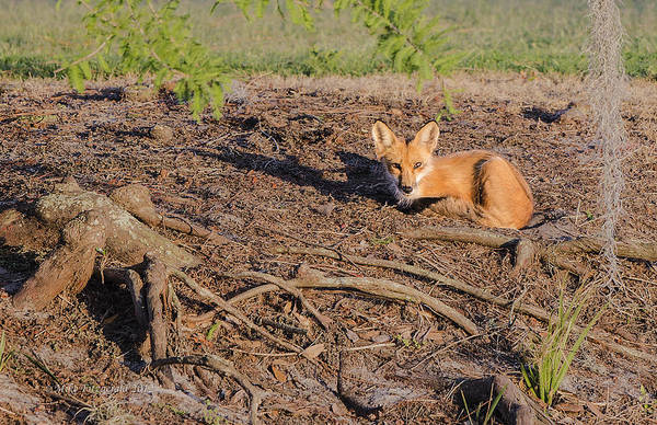 Photograph - Foxy Resting by Mike Fitzgerald