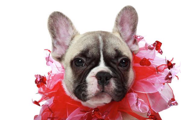 French Bulldog Photograph - French Bulldog Puppy by Mlorenzphotography