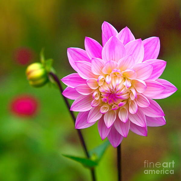 Photograph - Fresh As A Daisy by Byron Varvarigos